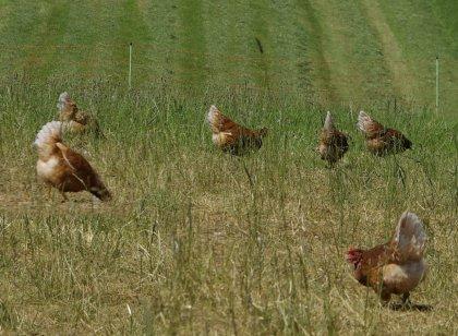 Suppenhühnern aus Biohaltung